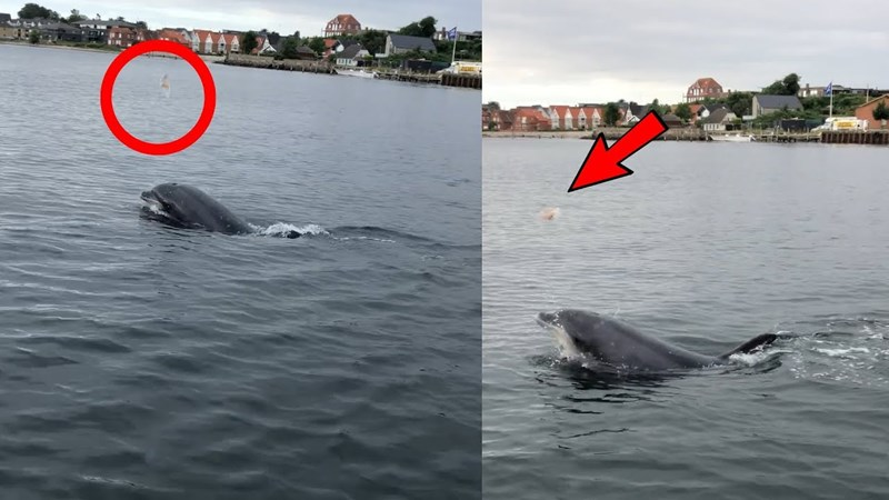 Dolphin juggling jellyfish in the air in Denmark - Danish sailors shocked by playful dolphin juggling jellyfish