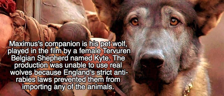 Dog - Maximus's companion is his pet wolf, played in the film by a female Tervuren Belgian Shepherd named Kyte. The production was unable to use real wolves because England's strict anti- rabies laws prevented them from importing any of the animals.
