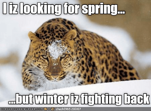 big cat spring looking fighting back caption - 9020248832
