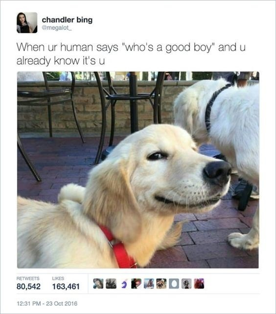 """Dog - chandler bing @megalot When ur human says """"who's a good boy"""" and u already know it's u RETWEETS LIKES 80,542 163,461 12:31 PM-23 Oct 2016"""