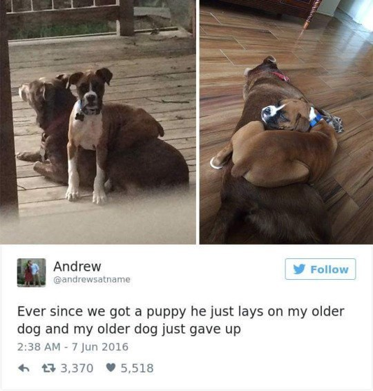 Dog - Andrew @andrewsatname Follow Ever since we got a puppy he just lays on my older dog and my older dog just gave up 2:38 AM -7 Jun 2016 t3,370 5,518