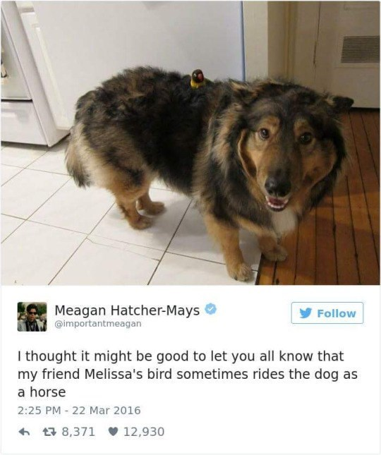 Dog breed - Meagan Hatcher-Mays Follow @importantmeagan I thought it might be good to let you all know that my friend Melissa's bird sometimes rides the dog as a horse 2:25 PM 22 Mar 2016 t8,371 12,930