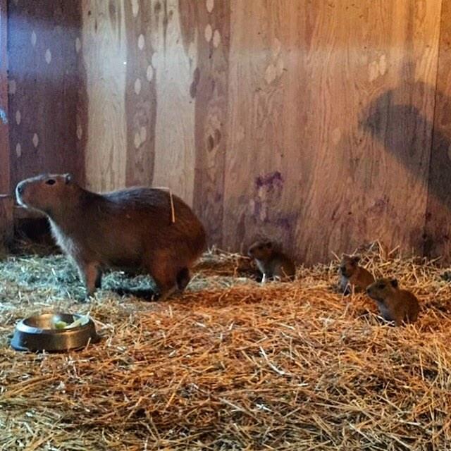capybabies sitting on hay