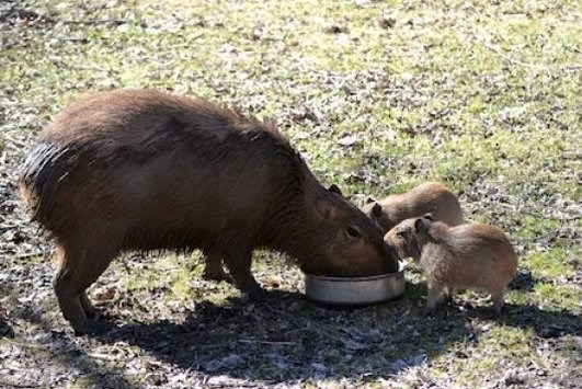 capybabies and mom eating from a bowl