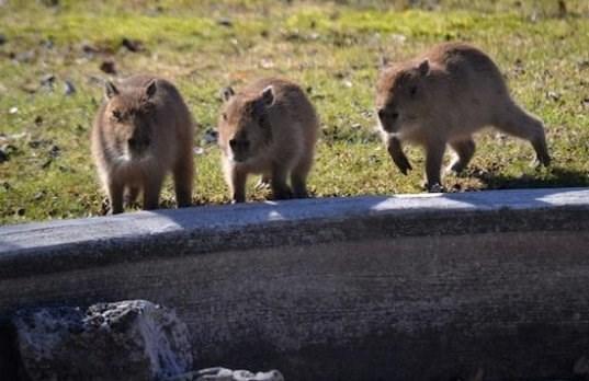 capybabies walking around