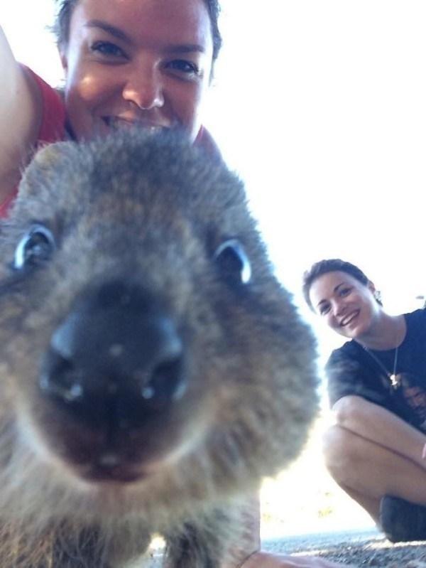 quokka - Wallaby