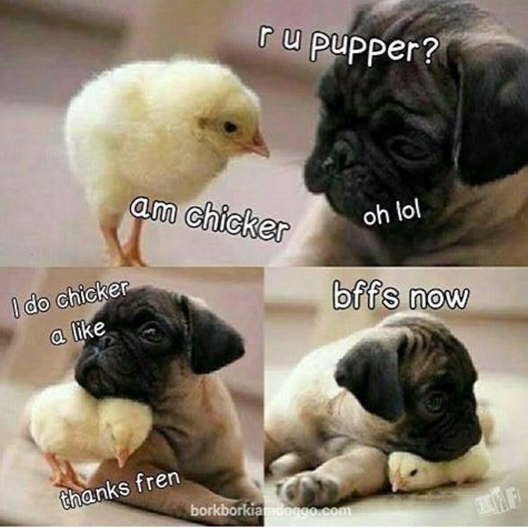 Dog - ru pupper? am chicker oh lol I do chicker a like bffs now thanks fren borkborkiamdoggo.com MF