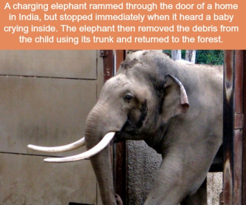 Elephant - A charging elephant rammed through the door of a home in India, but stopped immediately when it heard a baby crying inside. The elephant then removed the debris from the child using its trunk and returned to the forest.