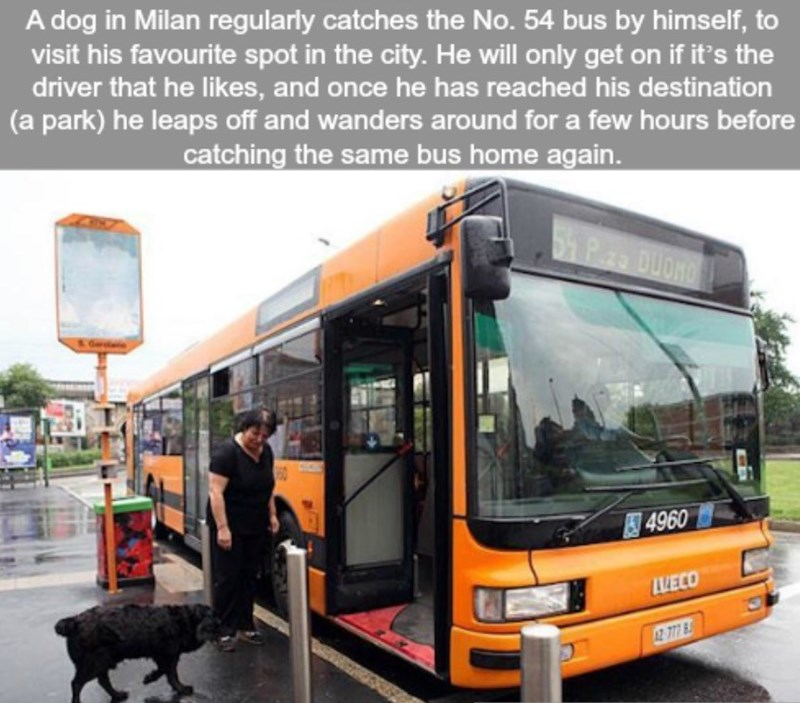 Transport - A dog in Milan regularly catches the No. 54 bus by himself, to visit his favourite spot in the city. He will only get on if it's the driver that he likes, and once he has reached his destination (a park) he leaps off and wanders around for a few hours before catching the same bus home again. 541 P. DUOKO 4960 VECO 2 777 8