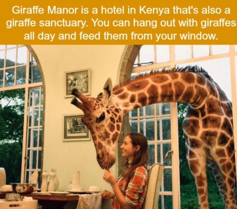 Giraffe - Giraffe Manor is a hotel in Kenya that's also a giraffe sanctuary.You can hang out with giraffes all day and feed them from your window.