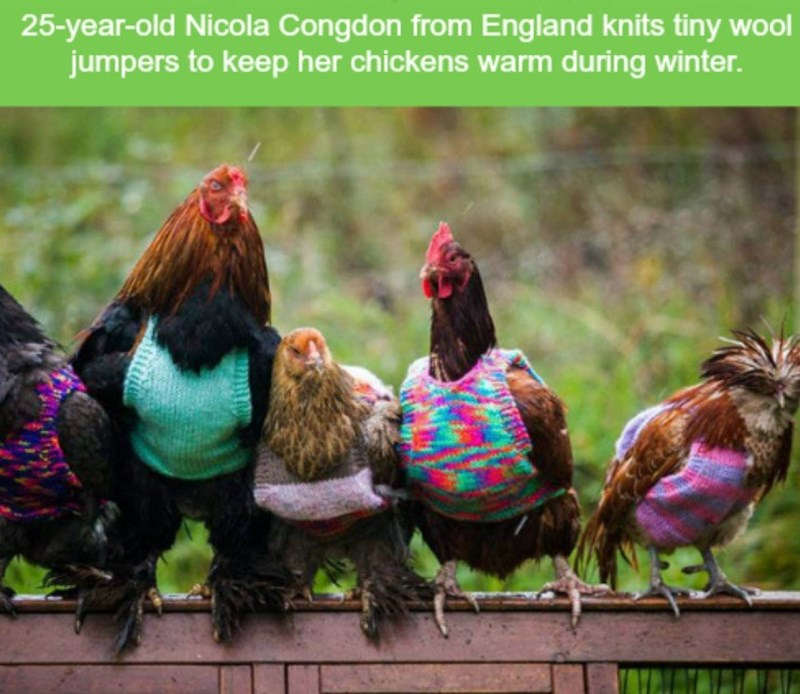 Chicken - 25-year-old Nicola Congdon from England knits tiny wool jumpers to keep her chickens warm during winter.