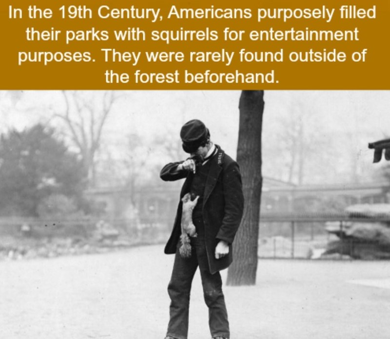 Text - In the 19th Century, Americans purposely filled their parks with squirrels for entertainment purposes. They were rarely found outside of the forest beforehand.