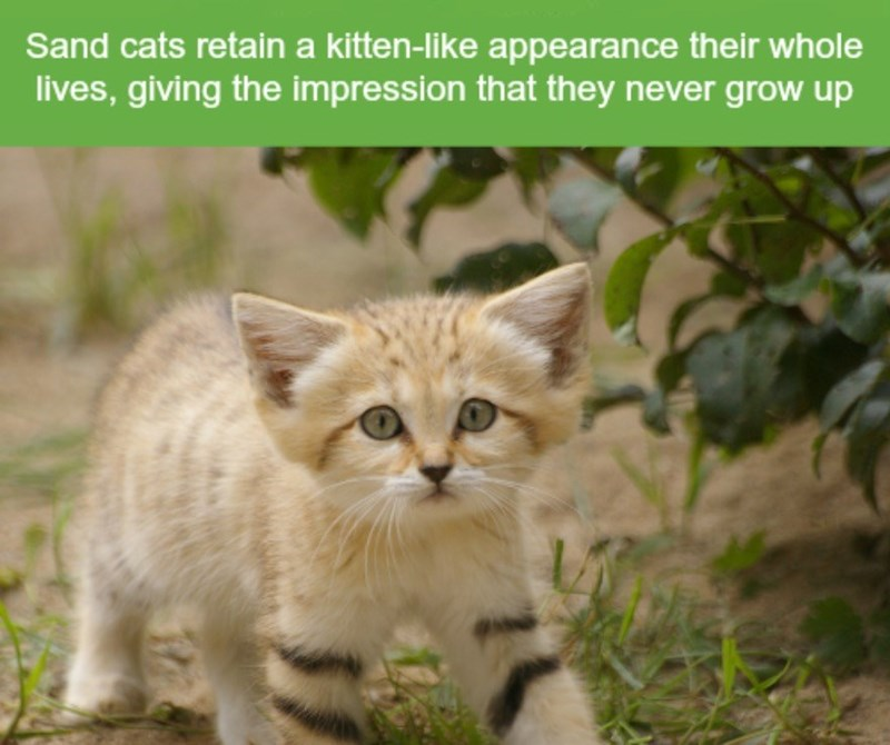 Cat - Sand cats retaina kitten-like appearance their whole lives, giving the impression that they never grow up
