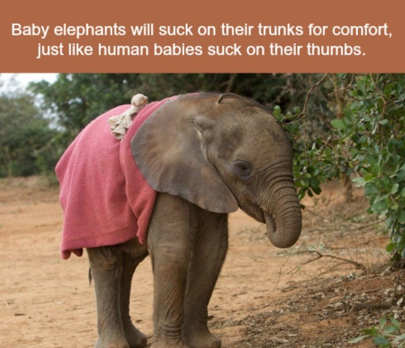 Elephant - Baby elephants will suck on their trunks for comfort, just like human babies suck on their thumbs.