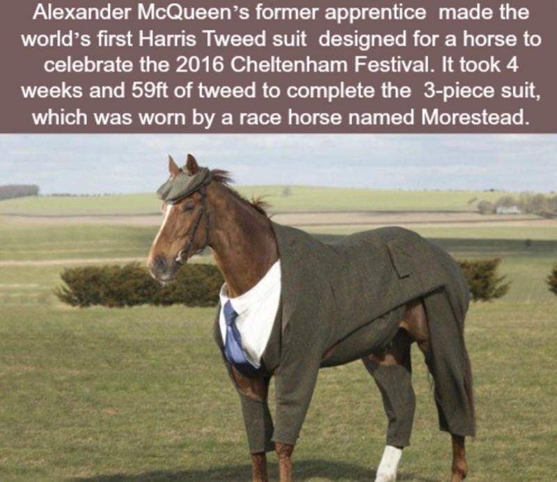 Horse - Alexander McQueen 's former apprentice made the world's first Harris Tweed suit designed for a horse to celebrate the 2016 Cheltenham Festival. It took 4 weeks and 59ft of tweed to complete the 3-piece suit, which was worn by a race horse named Morestead.