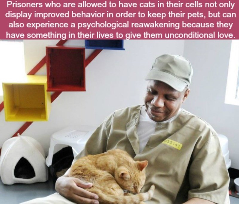 Cat - Prisoners who are allowed to have cats in their cells not only display improved behavior in order to keep their pets, but can also experience a psychological reawakening because they have something in their lives to give them unconditional love. 35141