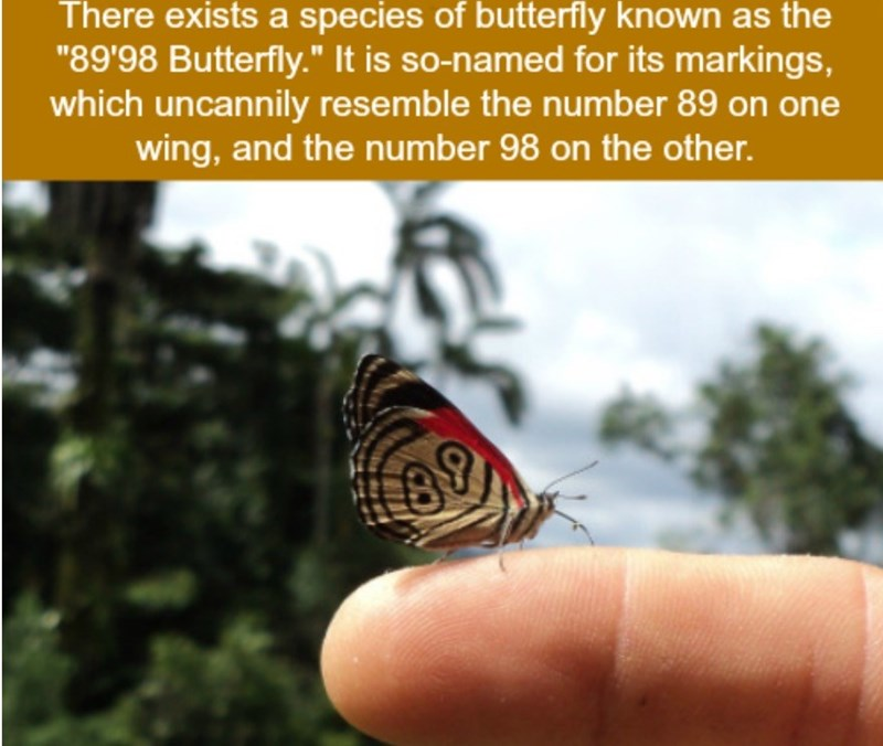 """Butterfly - There exists a species of butterfly known as the """"89'98 Butterfly."""" It is so-named for its markings, which uncannily resemble the number 89 on one wing, and the number 98 on the other. 89"""