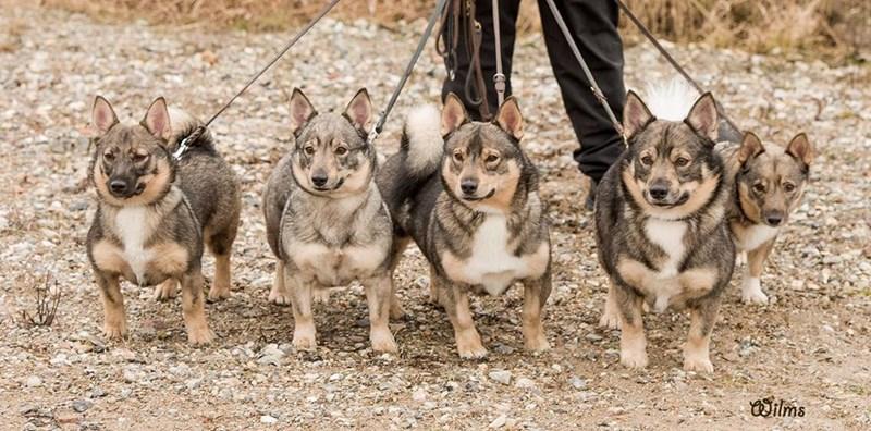 corgi and wolf - Mammal - ilms