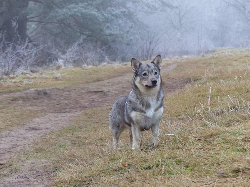 corgi and wolf - Mammal