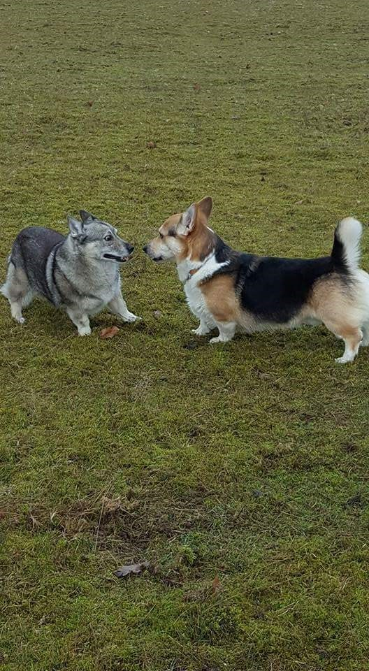 corgi and wolf - Dog