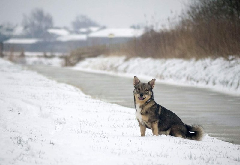 corgi and wolf - Snow