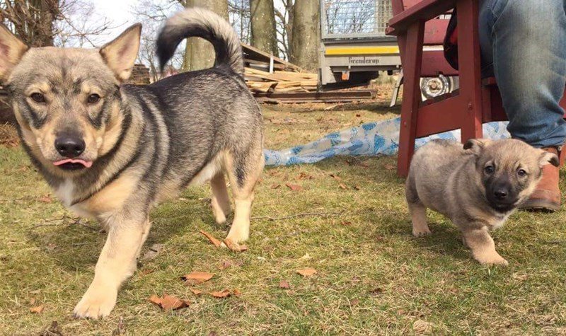 corgi and wolf - Dog - heenderap