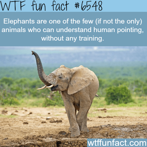 Elephant - WTF fun fact #548| Elephants are one of the few (if not the only) animals who can understand human pointing, without any training. wtffunfact.com
