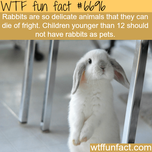 Rabbit - WTF fun fact #6o% Rabbits are so delicate animals that they can die of fright. Children younger than 12 should not have rabbits as pets. wtffunfact.com