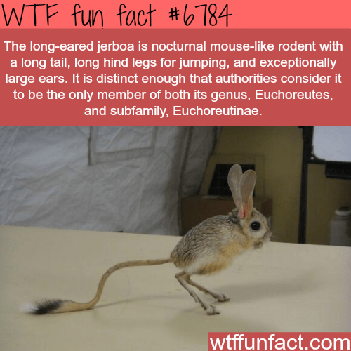 Organism - WTF fun fact #6784 The long-eared jerboa is nocturnal mouse-like rodent with a long tail, long hind legs for jumping, and exceptionally large ears. It is distinct enough that authorities consider it to be the only member of tth its genus, Etctoreutes, and subfamily, Euchoreutinae. wtffunfact.com