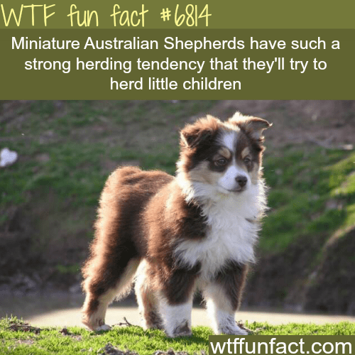 Dog - WTF fun fact #b84 Miniature Australian Shepherds have such a strong herding tendency that they'll try to herd little children wtffunfact.com