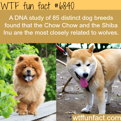 Mammal - WTF fun fact #(840 A DNA study of 85 distinct dog breeds found that the Chow Chow and the Shiba Inu are the most closely related to wolves. wtffunfact.com