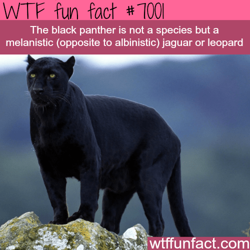 Vertebrate - fact #1001 WTF fun The black panther is not a species but a melanistic (opposite to albinistic) jaguar or leopard wtffunfact.com