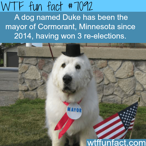 Dog - WTF fun fact # 7012 A dog named Duke has been the mayor of Cormorant, Minnesota since 2014, having won 3 re-elections. MAYOR wtffunfact.com