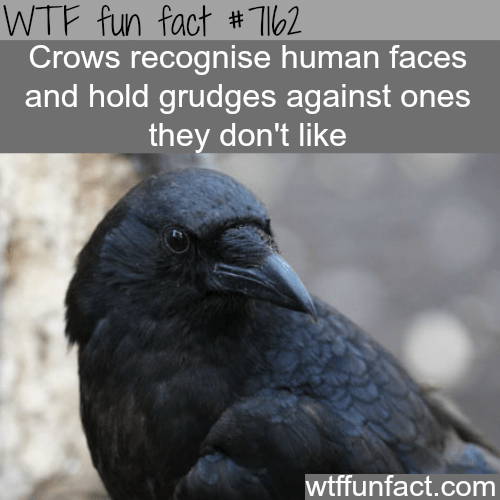 Bird - WTF fun fact # Tl62 Crows recognise human faces and hold grudges against ones they don't like wtffunfact.com