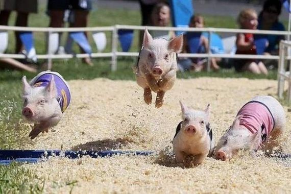 mini pigs racing humpday pic for Wednesday