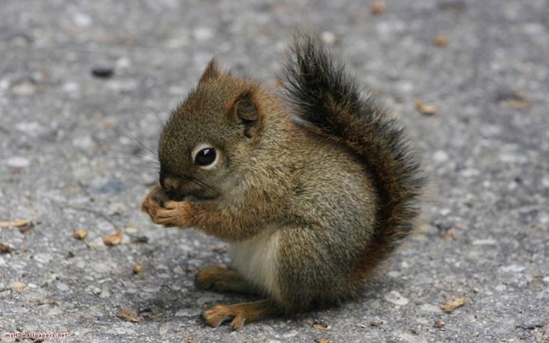 Squirrel - my HDwallpapers.net