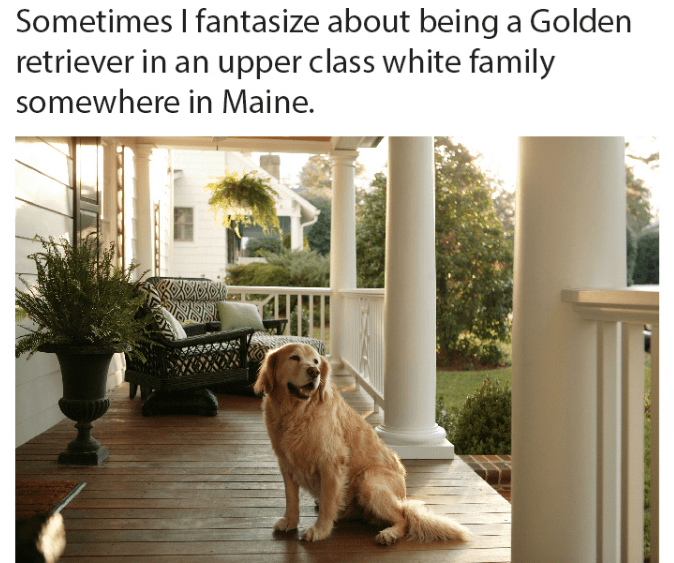 Dog breed - Sometimes I fantasize about being a Golden retriever in an upper class white family somewhere in Maine.