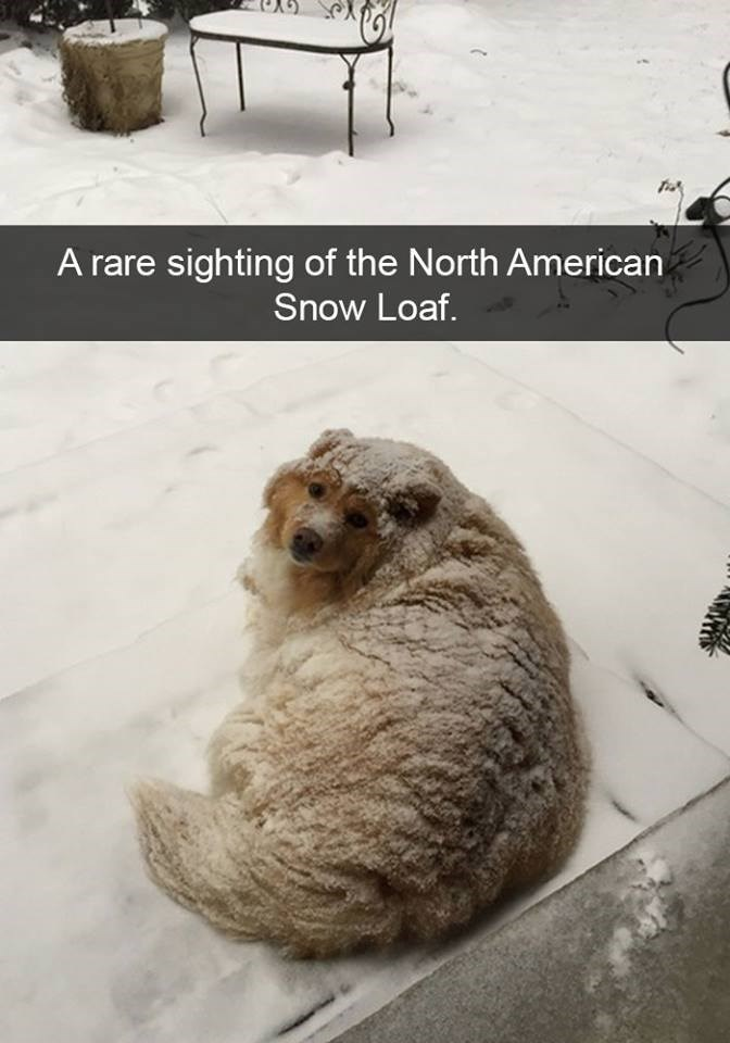 snapchat - Canidae - A rare sighting of the North American Snow Loaf.