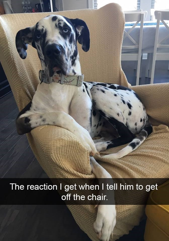 snapchat - Dog - The reaction I get when I tell him to get off the chair.