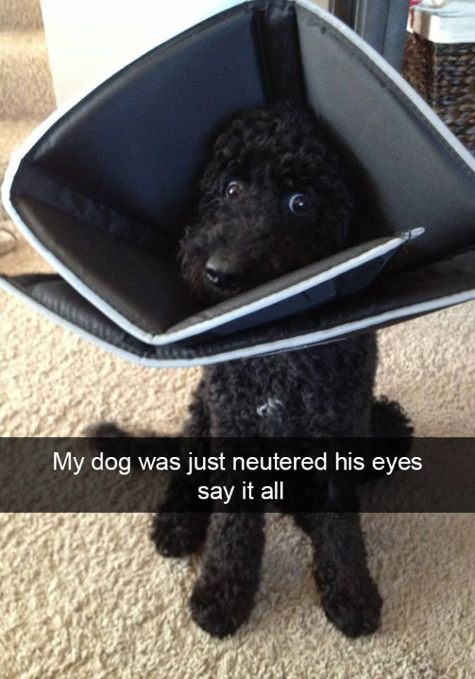 snapchat - Canidae - My dog was just neutered his eyes say it all