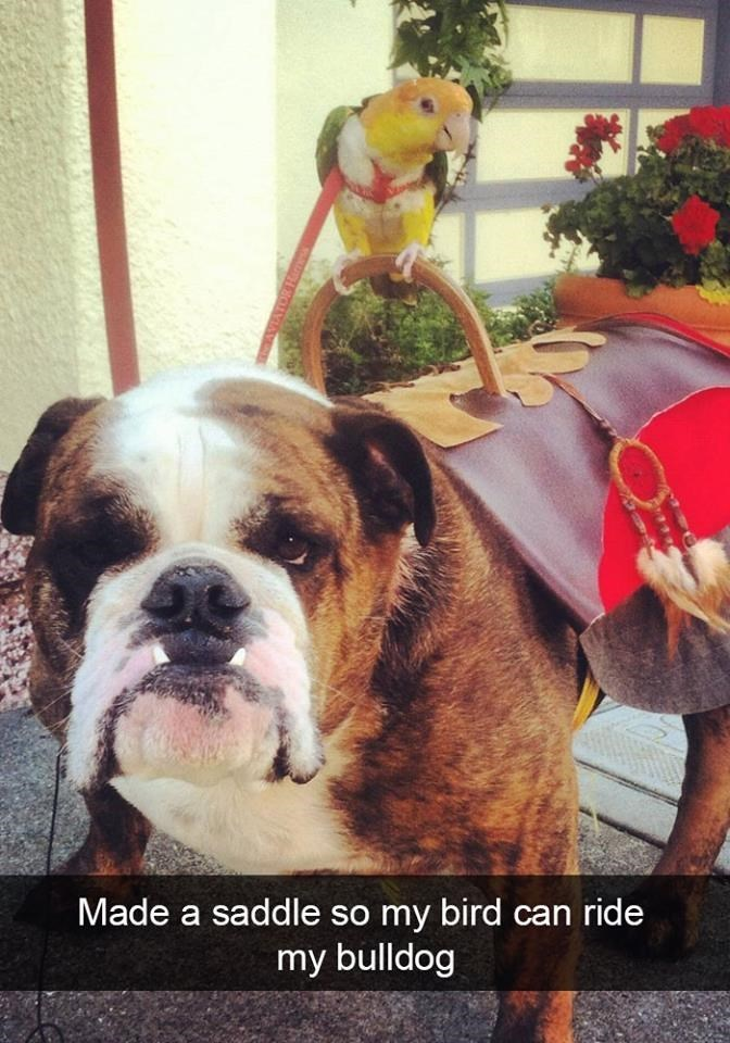 snapchat - Dog - Made a saddle so my bird can ride my bulldog