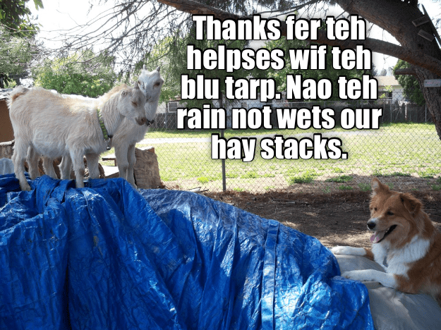 Lol dog meme of few goats making a comment about the blue tarp covering their hay stacks.