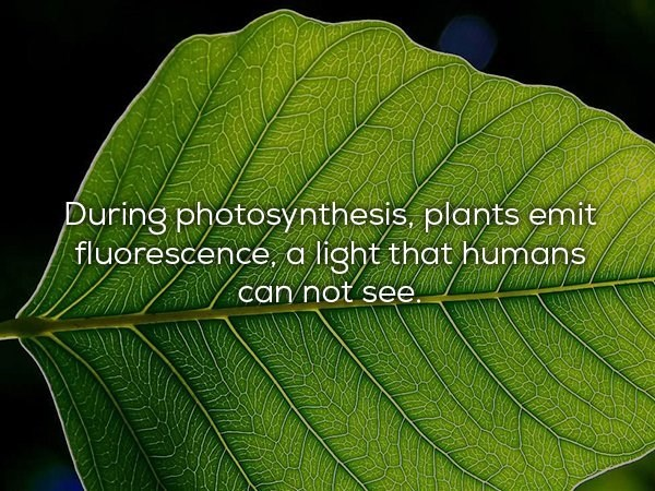 Leaf - During photosynthesis, plants emit fluorescence, a light that humans can not see