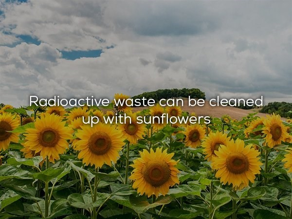 Sunflower - Radioactive waste.can be cleaned up with sunflowers