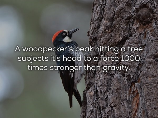 Bird - A woodpecker's beak hitting a tree subjects it's head to a force 1000 times stronger than gravity.