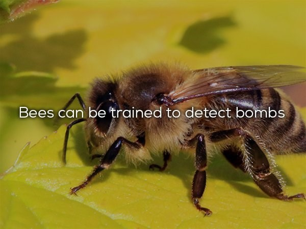 Bee - Bees can be trained to detect bombs