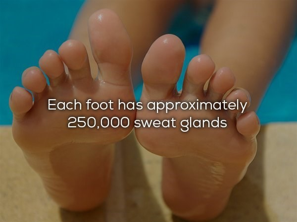 Foot - Each foot has approximately 250,000 sweat glands