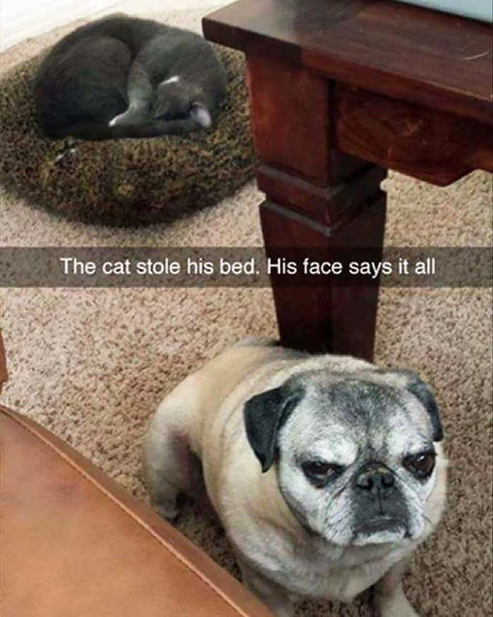 cat stole dog's bed - Pug - The cat stole his bed. His face says it all