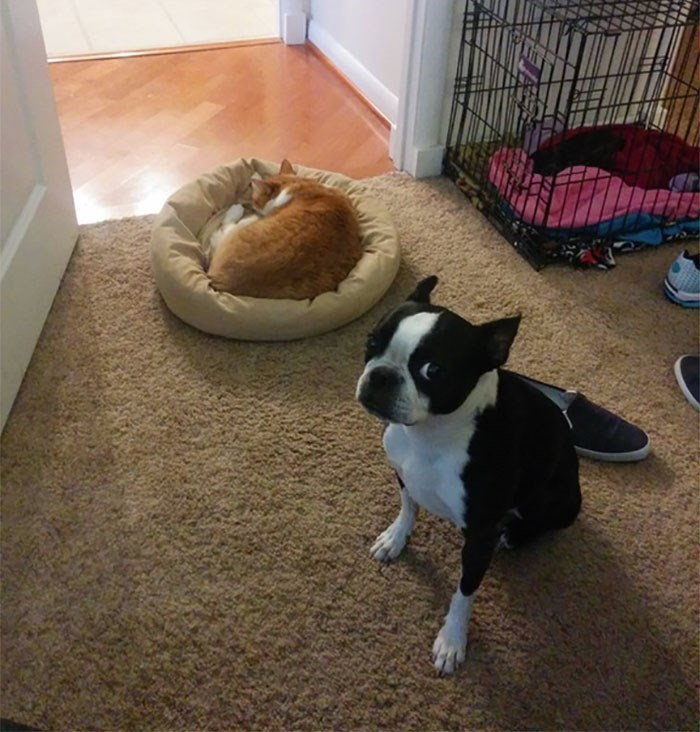 cat stole dog's bed - Mammal