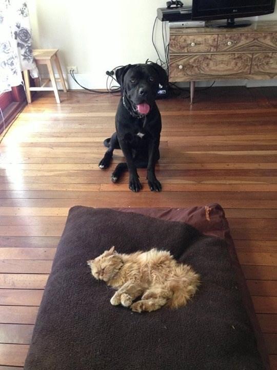 cat stole dog's bed - Dog